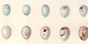 Eggs_300x150
